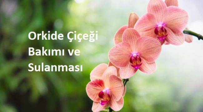 Orkide Çiçeği Bakımı ve Sulanması