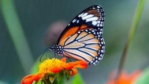 Kelebek Türleri Nelerdir?